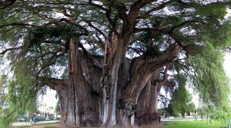 Árbol Nacional de México